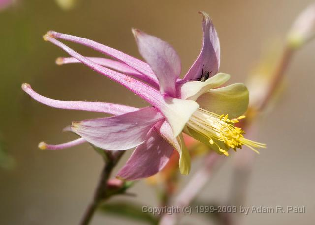 Alpine Columbine